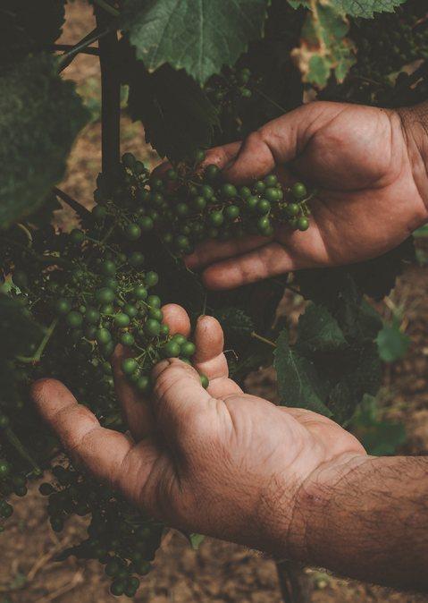 Seit 2003 biologisch zertifizierte Trauben.
