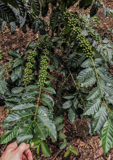 Kaffeepflanzen Rudolfo